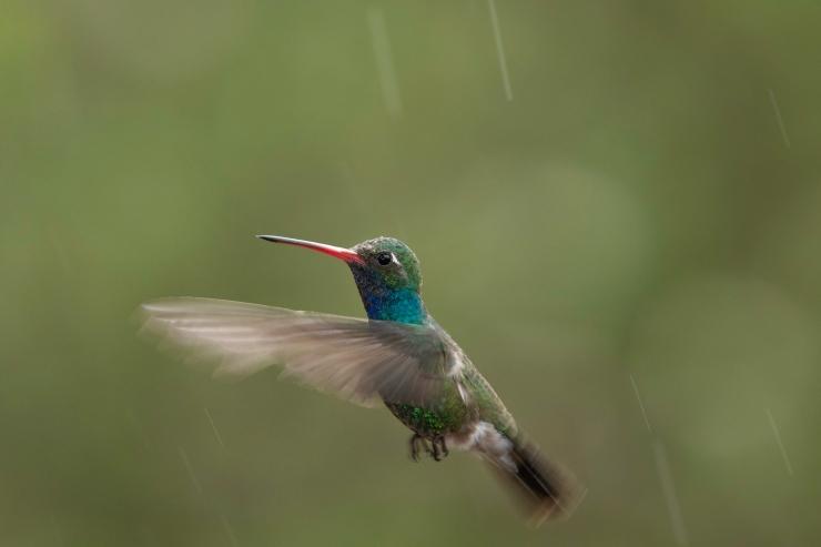 Madera Canyon Day 3 Male Broad-billed rain drops.jpg
