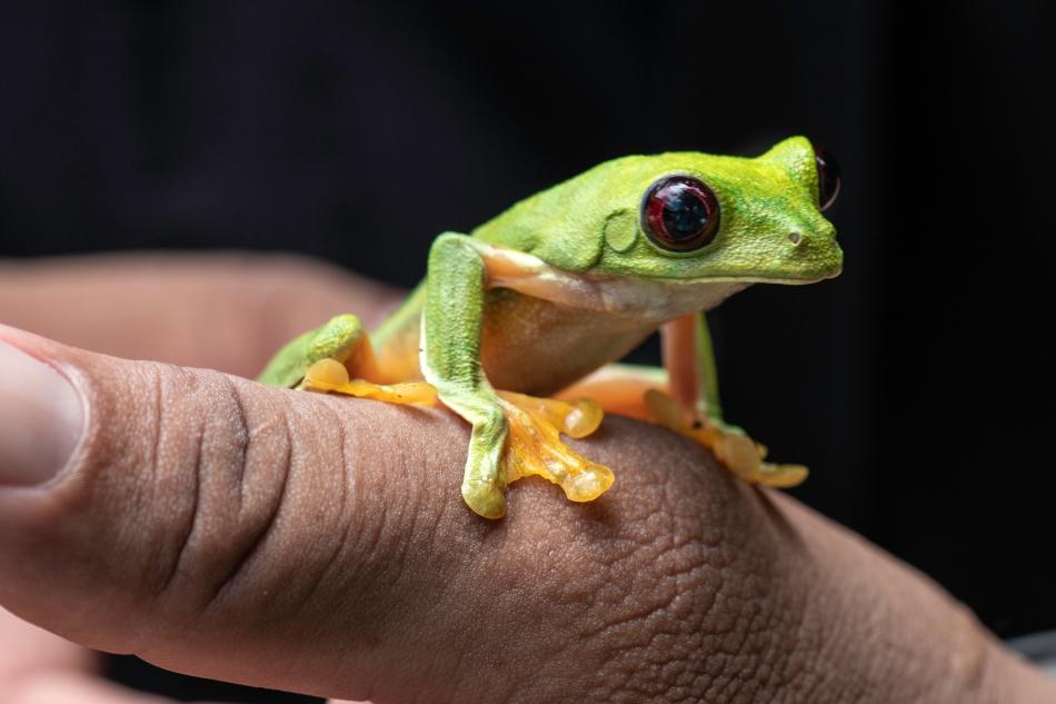 Spurrell's Leaf Frog on thumb