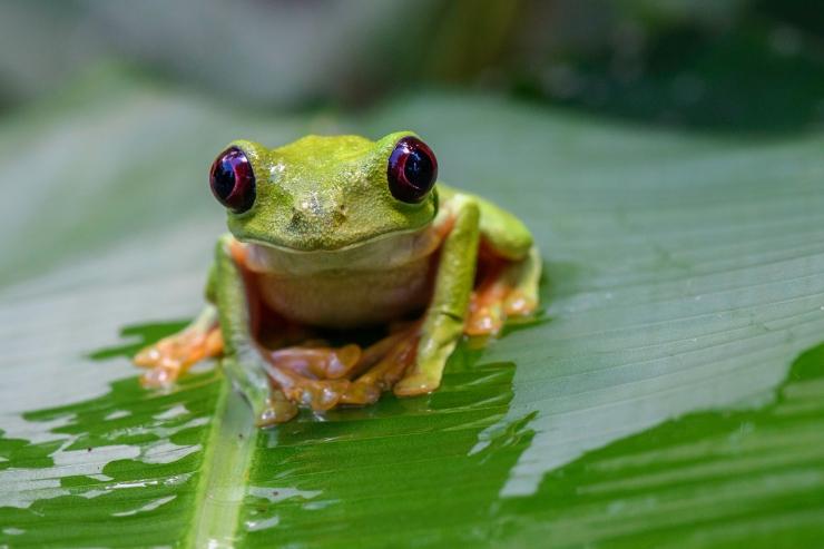 Spurrell's Leaf Frog.jpg