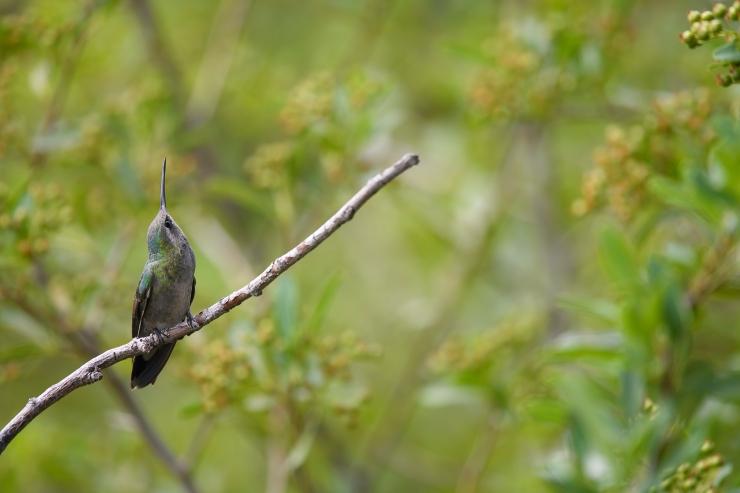 Wary Female BRoadbilled hummer.jpg