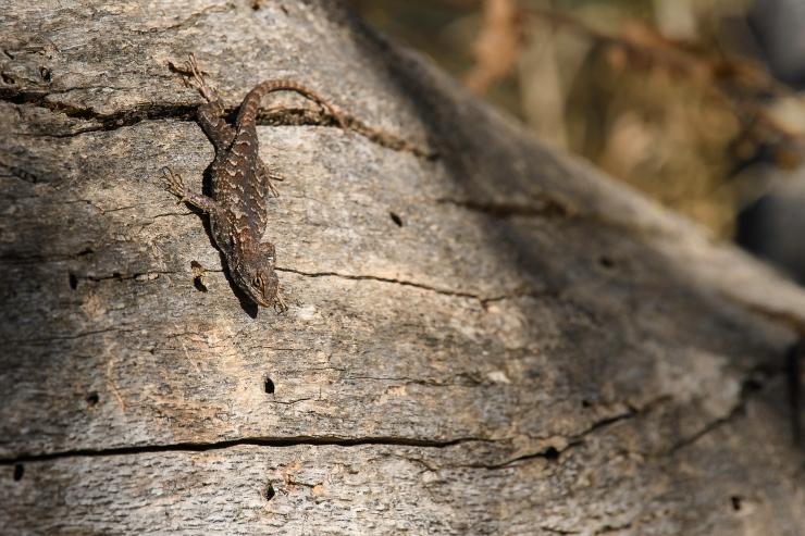 Western Fence Lizard.jpg