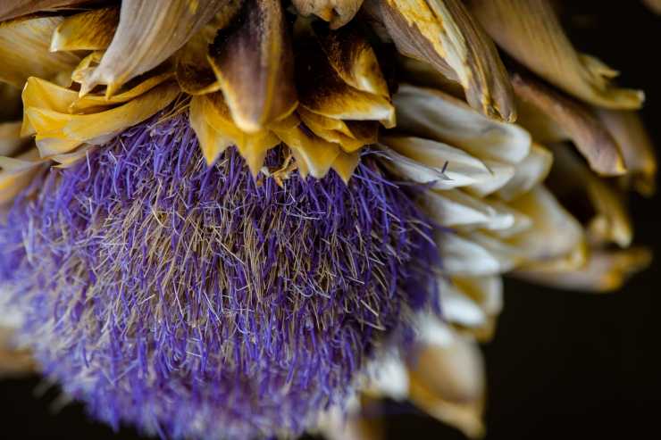 artichoke gone to seed.jpg