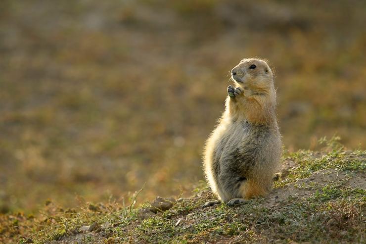 Prairie Dog Bhudda.jpg