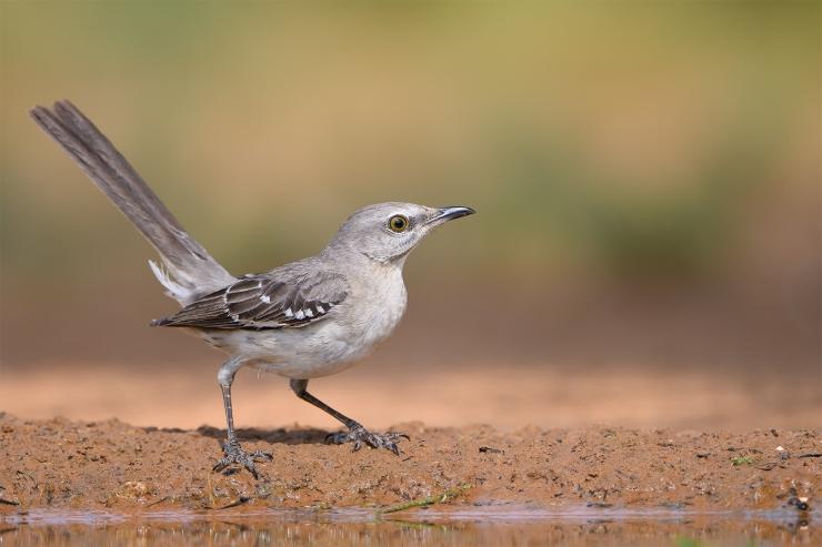 Texas Birds 2019  pm 0043-1.jpg